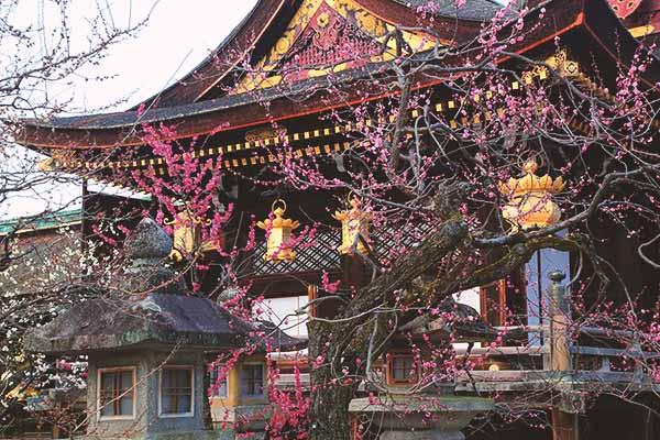 Albero ume davanti al Kitano Tenmangu