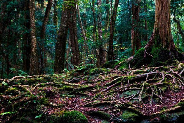 Aokigahara (Jurai) Foresta dei Suicidi - Fitta vegetazione nel sottobosco