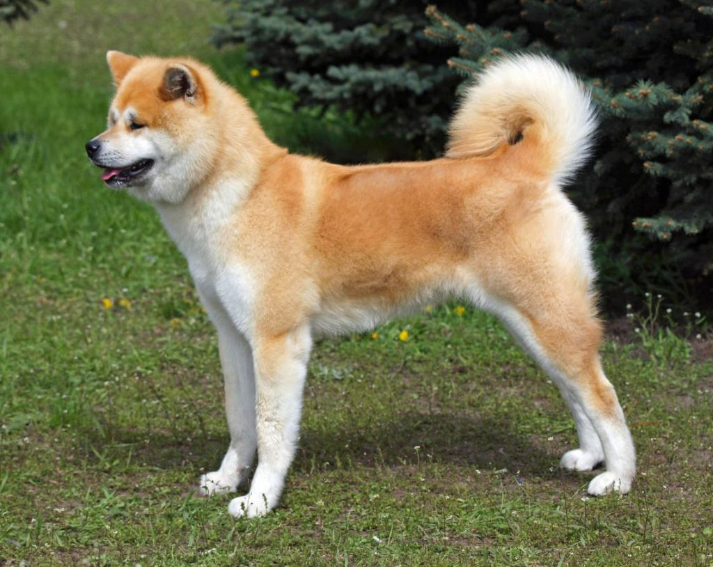 Cane Giapponese: Akita Inu