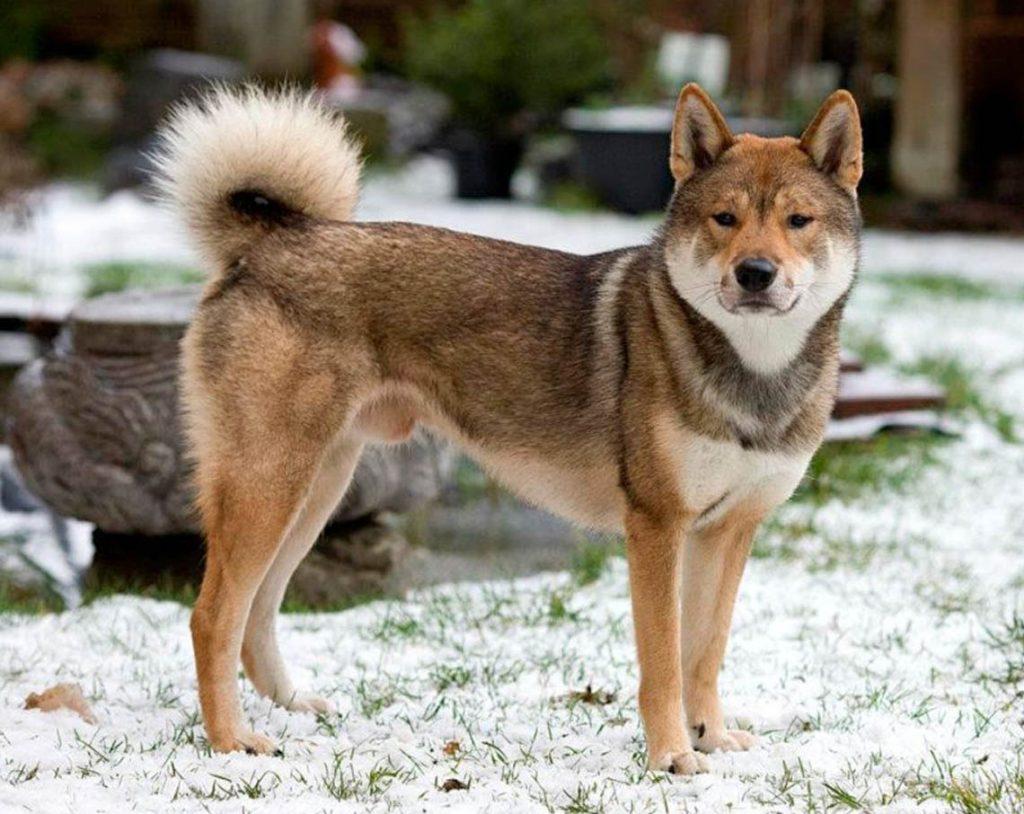 Cane giapponese: Shikoku Ken