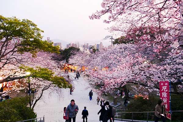Fukuoka Parco Nishi Sakura Ciliegi