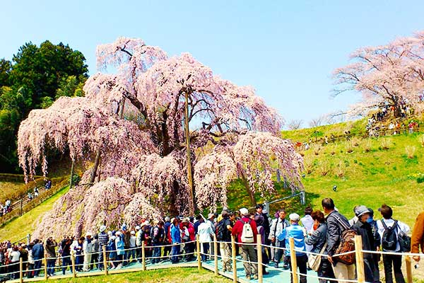 Sakura Fukushima Miharu Takizakura
