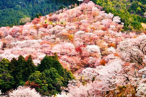 Hanami Sakura Ciliegi Nara Monte Yoshino