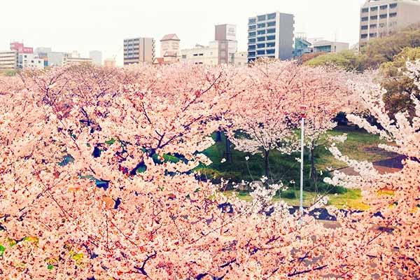 Fioritura ciliegi Osaka Parco Expo-70