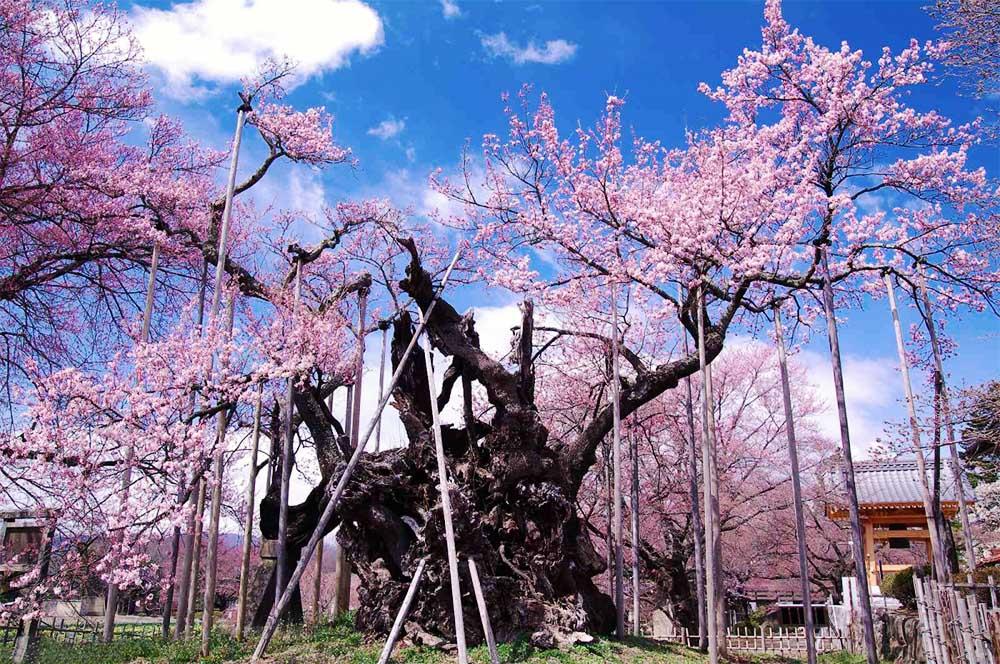 Jindai Zakura albero di ciliegio