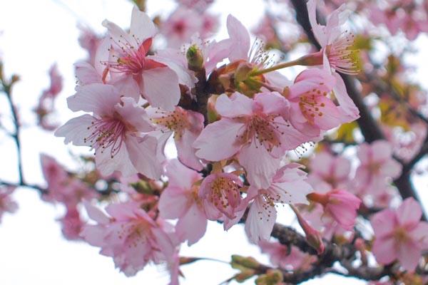 KAN-ZAKURA qualità di sakura giapponese