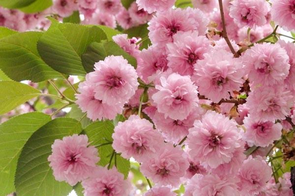 Sakura KIKU-ZAKURA