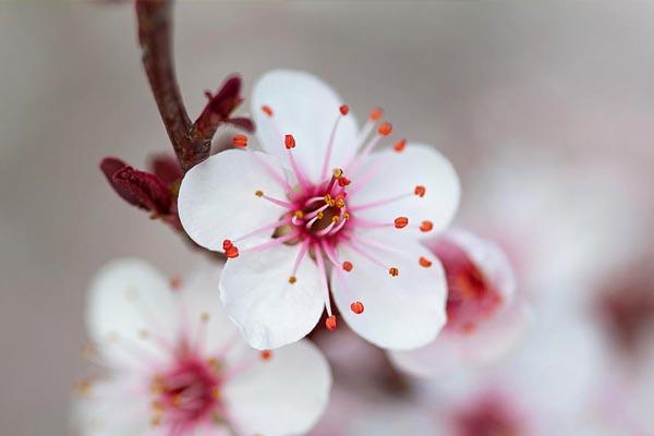 Sakura SOMEI YOSHINO