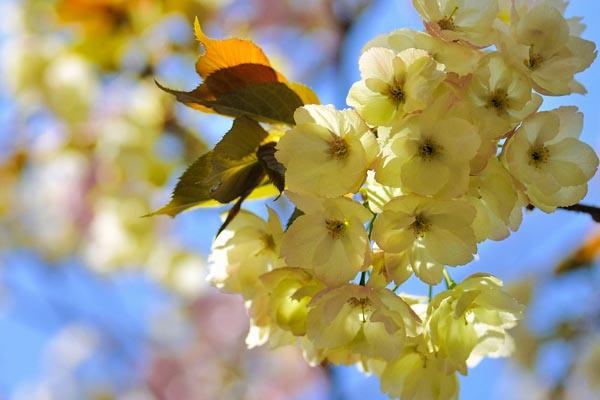 Fioritura dei ciliegi UKON